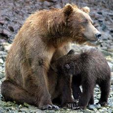 Mother Bears May Be More Bark Than Bite