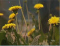 Rubber May Soon Come From Dandelions