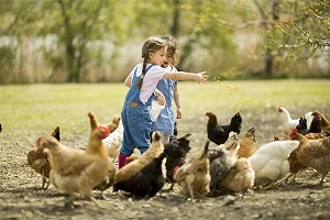 We are feeding chickens